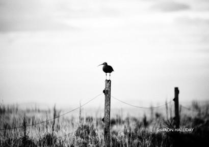 curlew.jpg