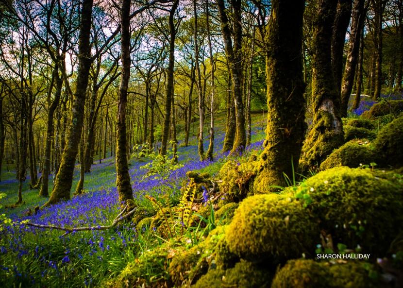20130521_bluebells_0067.jpg