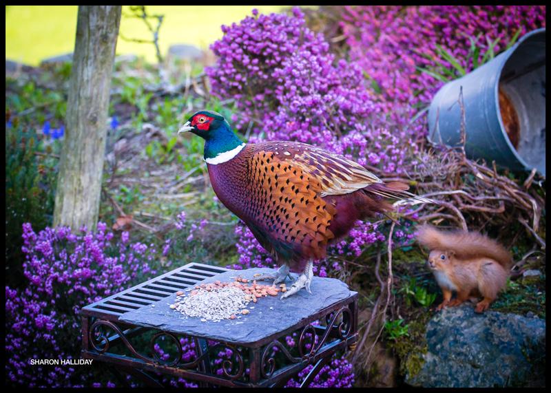 pheasant versus squirrel