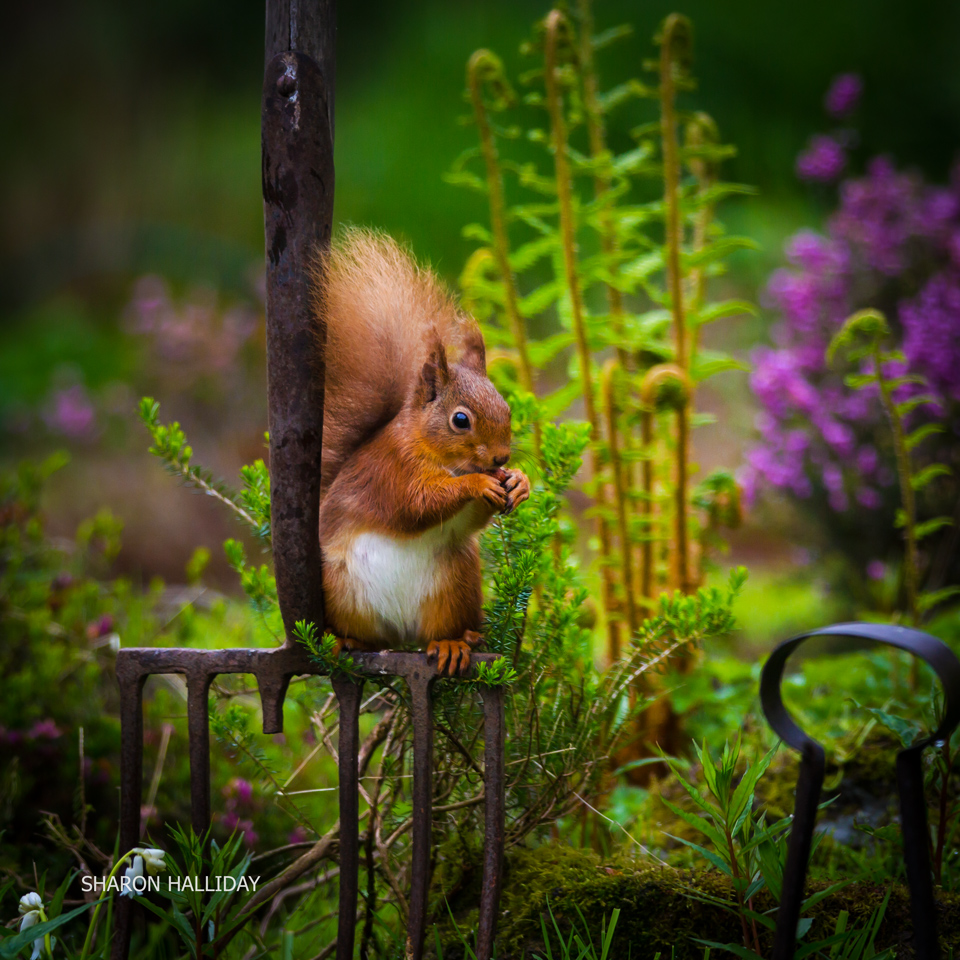 Red Squirrel Photography Red Squirrels Scotland