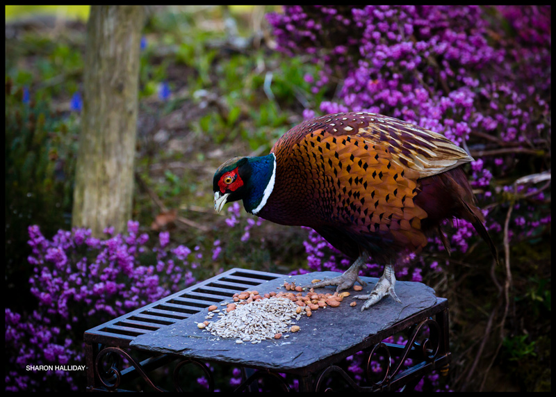 pheasant versus squirrel